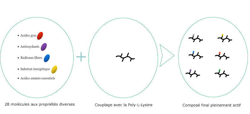 Polyenuros - Schéma de couplage polyllysine